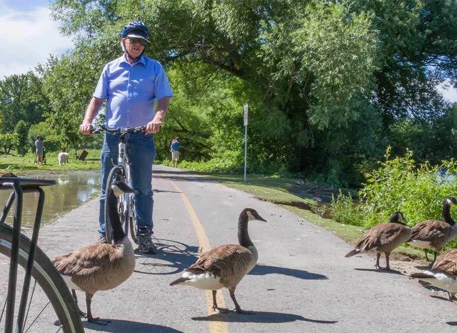 A guest is watching Canada geese on Ottawa River pathways during Escape best of Ottawa neighbourhood and nature bike tour